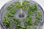 Recept Domácí vegeta - sušená zelenina bez glutamanu - sušená petrželová nať