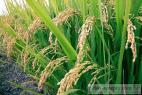 Recept Rychlá vařená rýže - rýžové pole