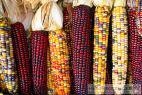 Recept Vařená kukuřice - barevná kukuřice