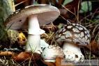 Recept Vepřové na hříbkách po česku - muchomůrka tygrovaná - nejjedovatější houba Evropy