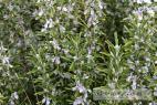 Recept Domácí olivové mýdlo z rostlinných olejů - rozmarýn- jedna z bylin, kterou můžeme přimíchat