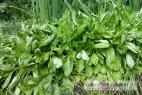 Recept Zeleninový salát s kozlíčkem - kozíček polní